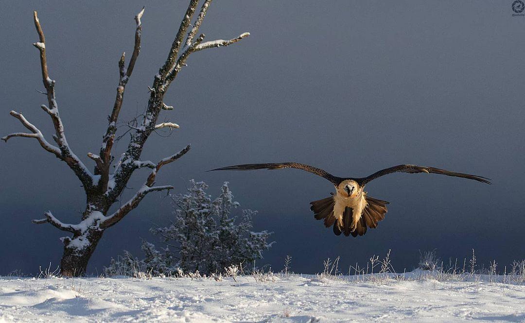 quebrantahuesos volando nieve