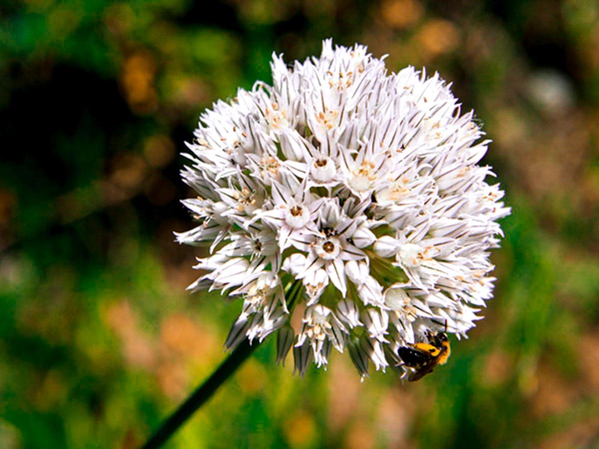 AlliumPyrenaicum_2