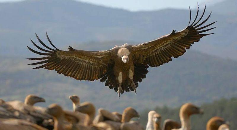 aves necrófagas del Pirineo