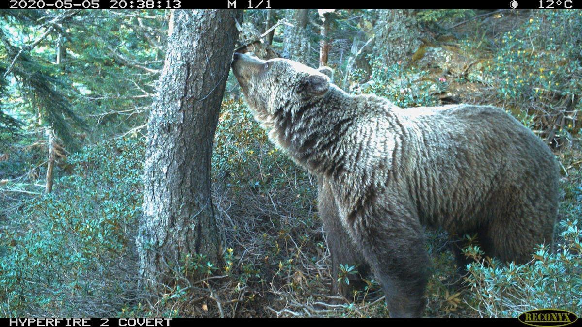 camara foto trampeo oso pirineo 2020