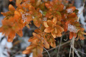 Hoja del boj naranja flora pirenaica