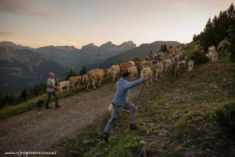 borau ganadería