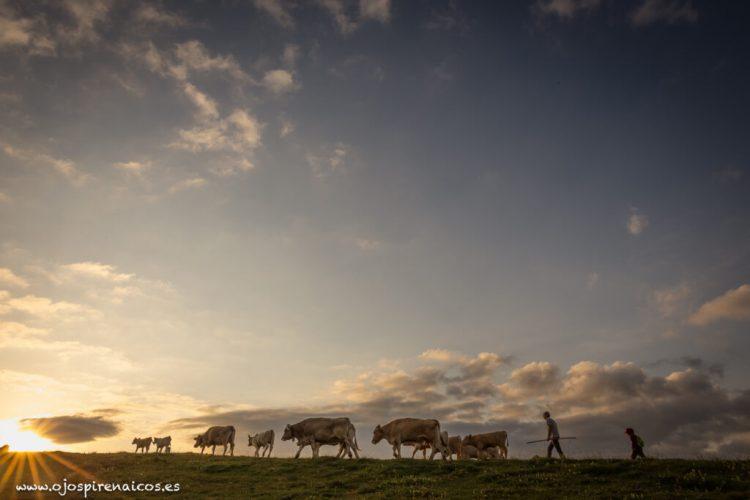 vacas montaña