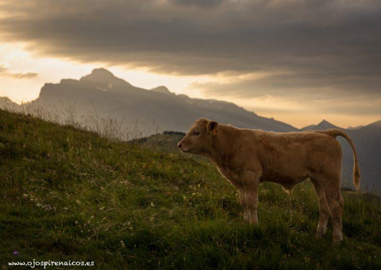 vaca ternero