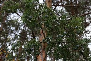 Planta chinebro o enebro flora pirenaica