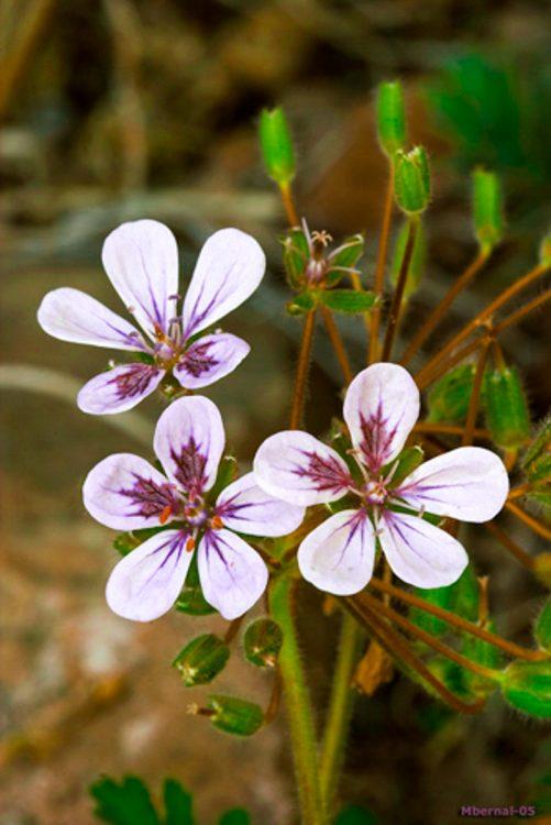 "Erodium gaussenianum P. Monts. 853 ""raras"""