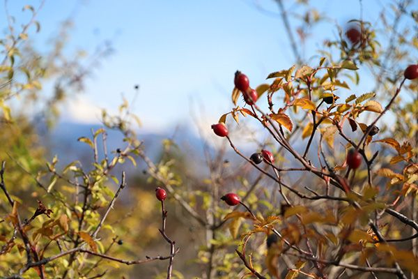 Gabardera o rosal silvestre escaramujo flora pirenaica