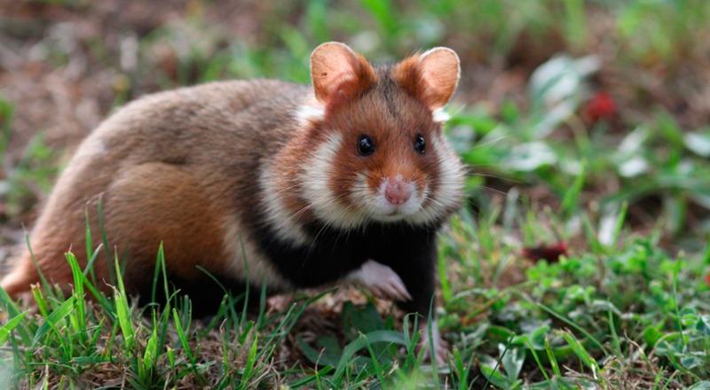 Hamster vulgar