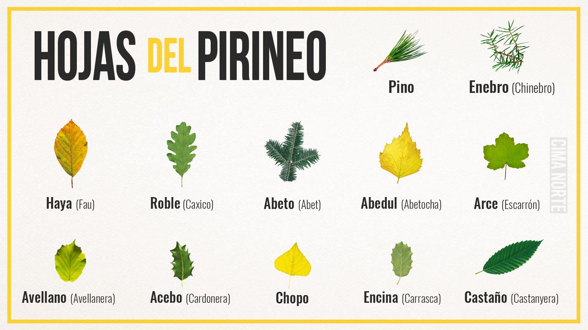 tipos de hojas de los arboles del Pirineo