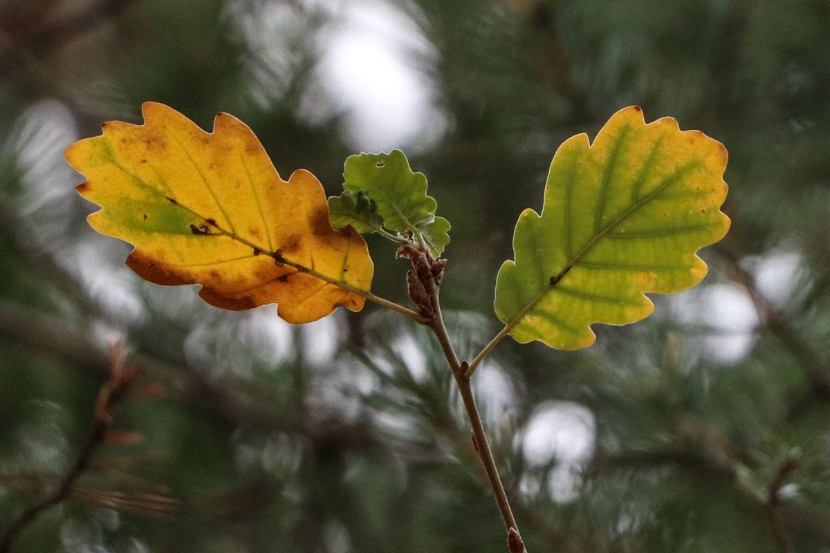 hojas del pirineo arboles