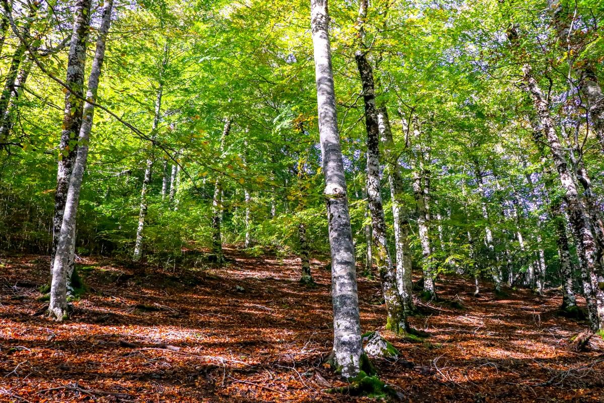 bosque zuriza hayedo otoño alano taxeras pirineo