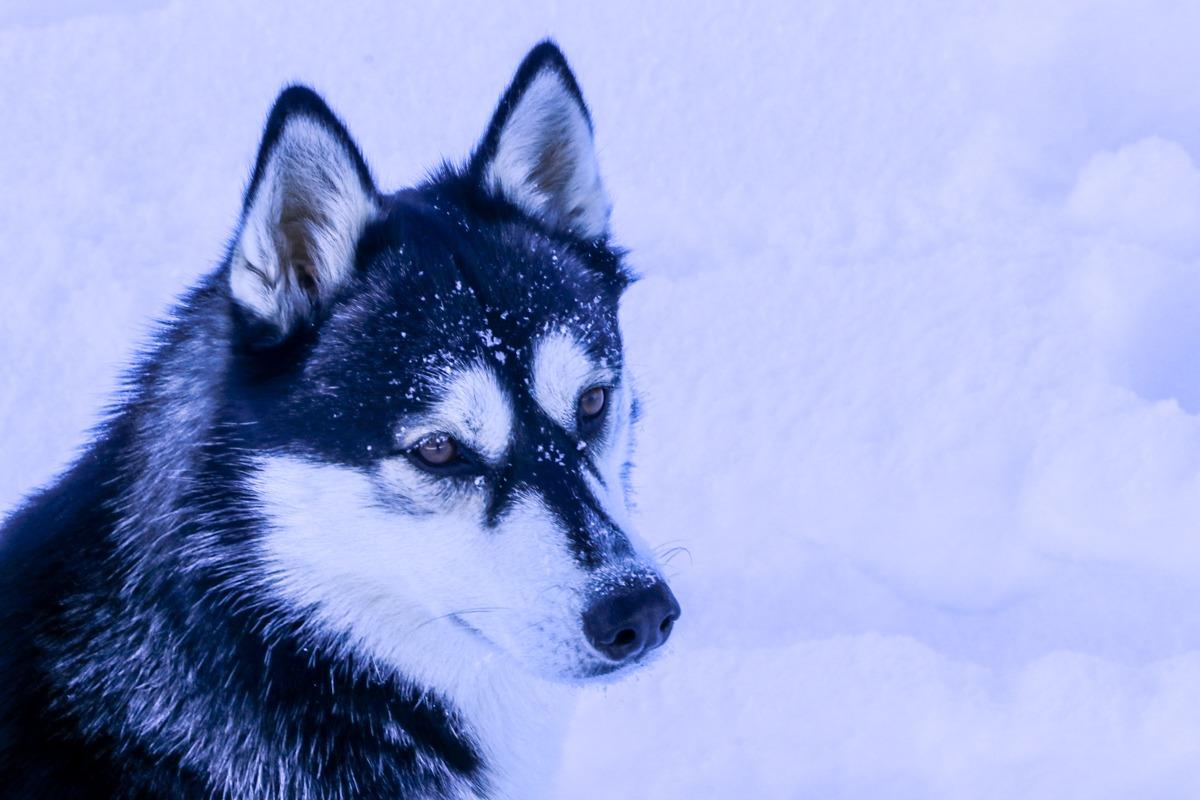 husky quimal cima norte