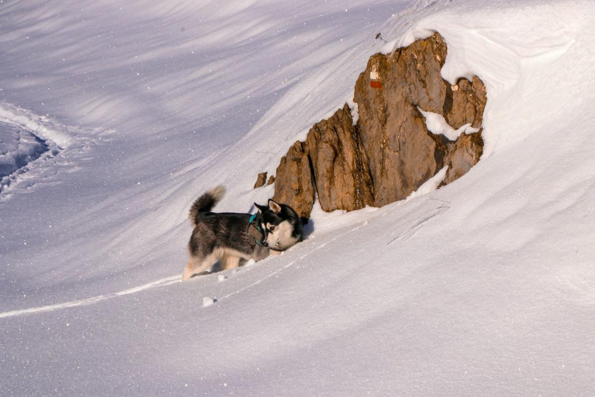husky perro senda pirenaica gr 11 zuriza