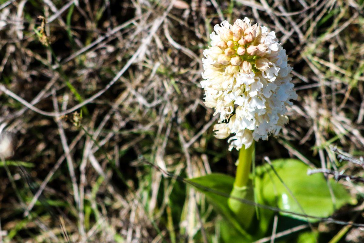 orquídeas pirineo