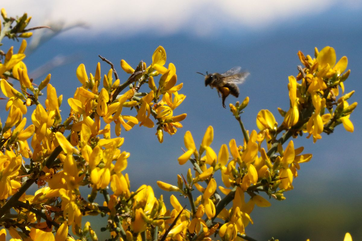 insectos pirineo abeja
