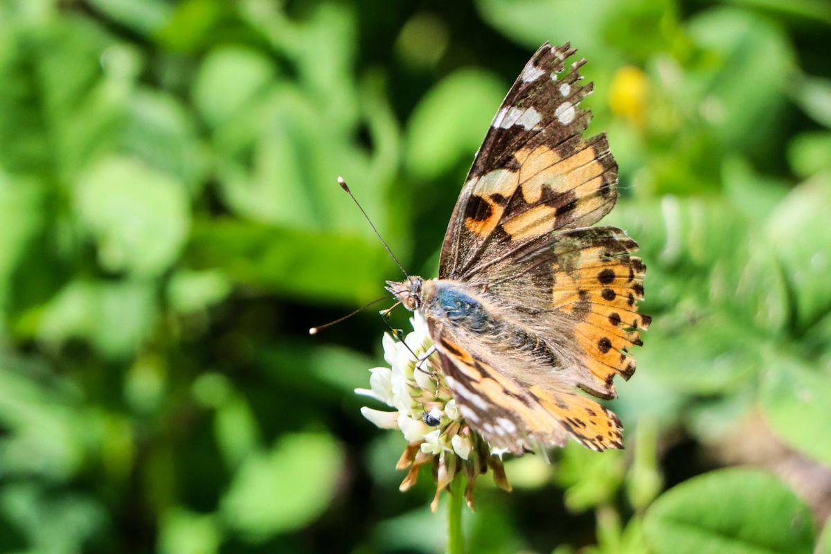 mariposa vanesa de los cardos vanessa cardis migracion migratoria