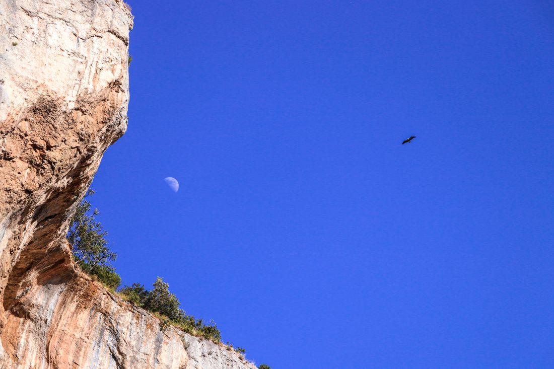 buitre luna foz de lumbier