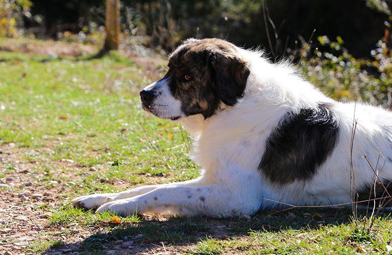 mastin del pirineo perro raza