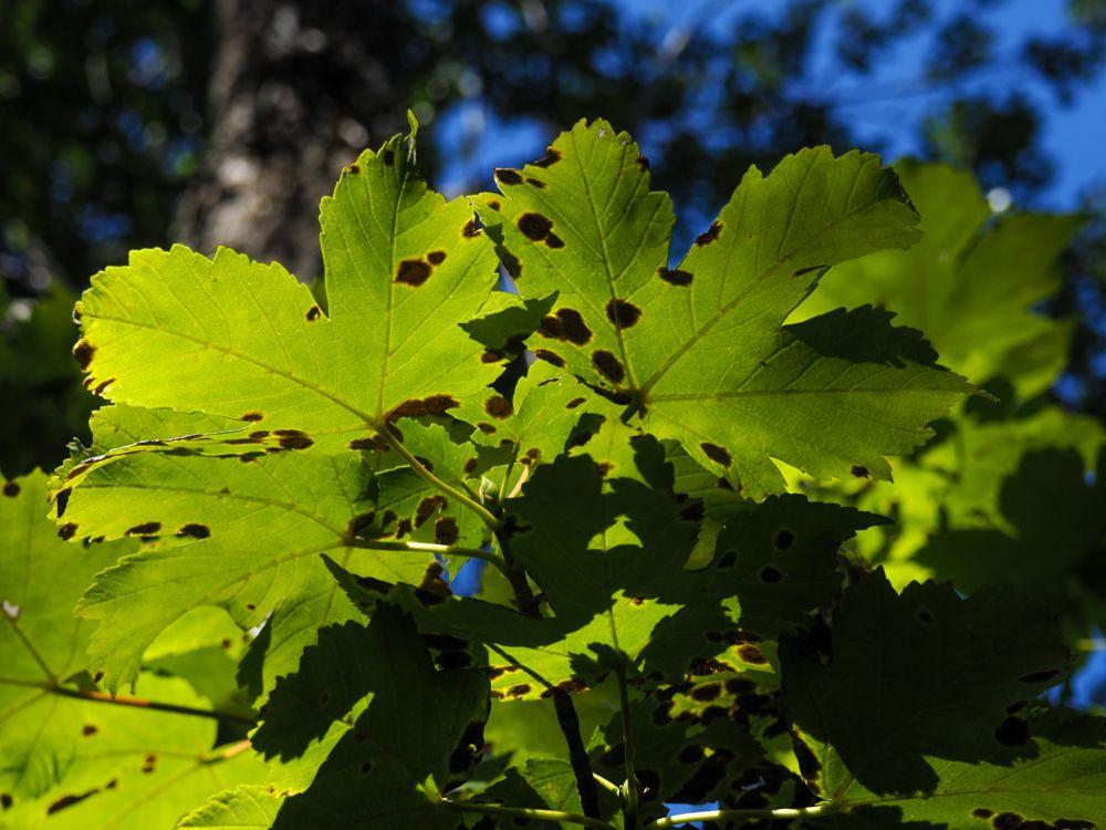Arce real (Acer platanoides) guía