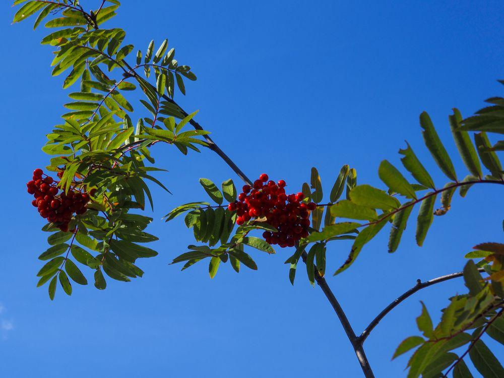 Servales de cazadores (Sorbus aucuparia) guía