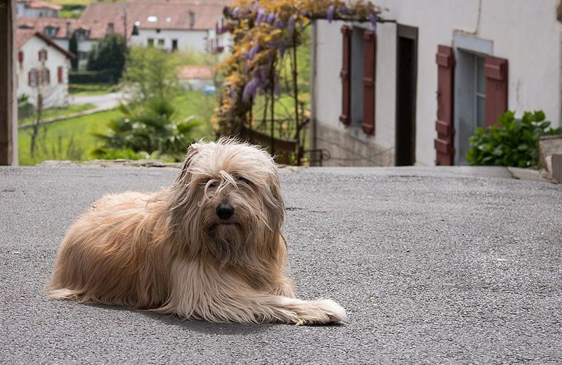 pastor catalán perro raza