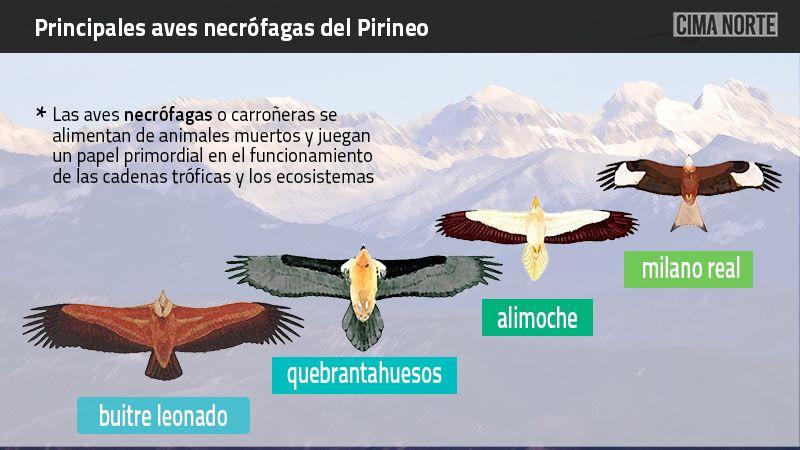 Principales aves necrófagas carroñeras Pirineo