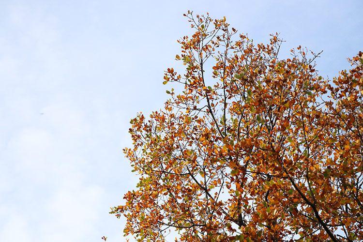 Roble otoño Flora Pirenaica