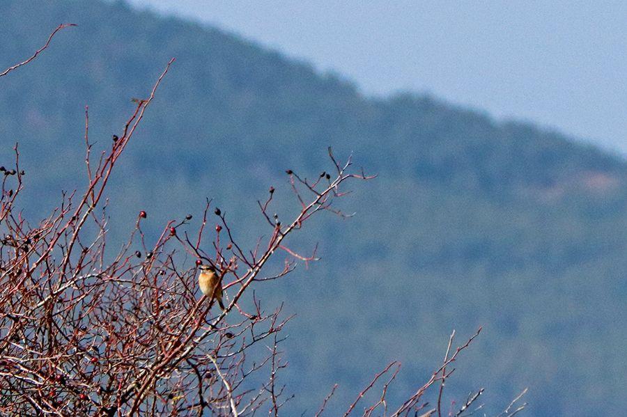 Tarabilla hembra aves pirineo