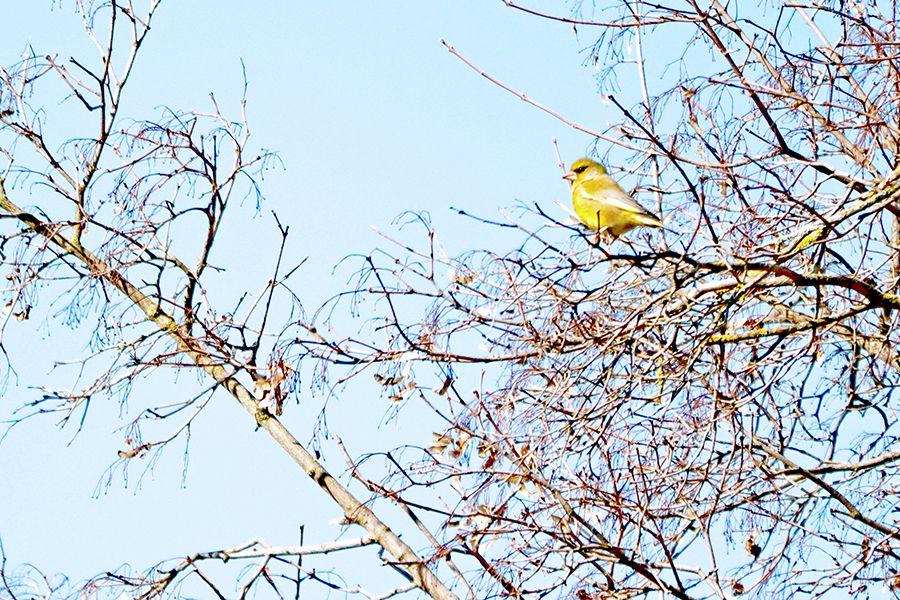 Verderón aves pirineo
