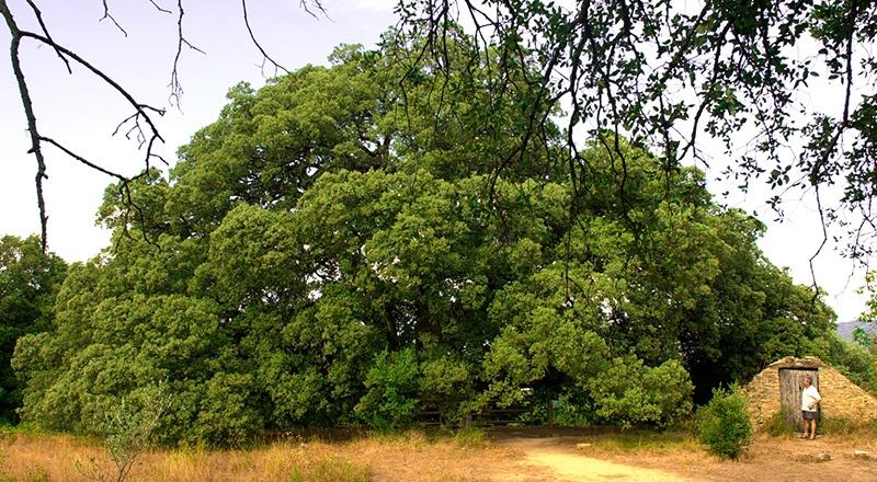 árboles singulares de pirineo pirineos aragon