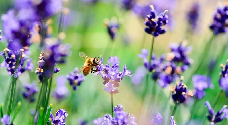 abejas flores