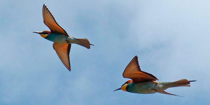 abejaruco rutas ornitologicas jacetania birding cimanorte pirineo