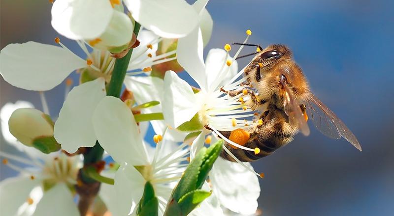 abejas flor