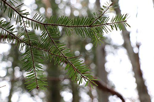 abeto flora pirenaica