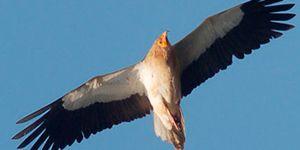 alimoche aves necrófagas