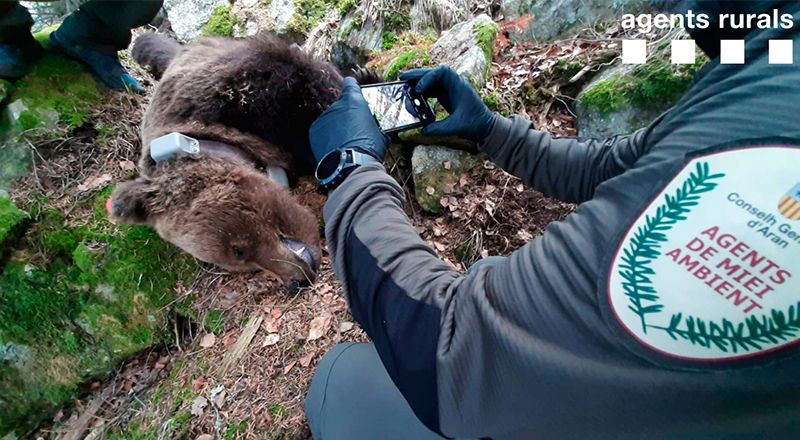 cachou muerto oso pirineo