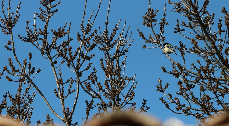 aves del pirineo carbonero común cima norte