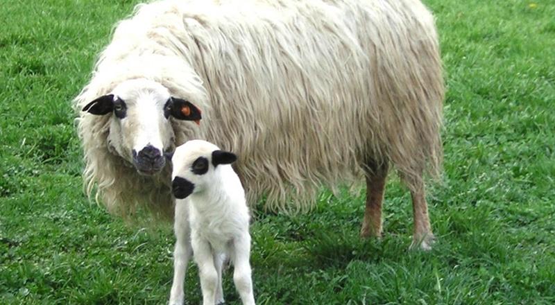 churra tensina oveja pirineo autóctona animales
