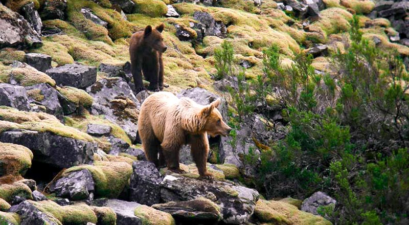 conservacion oso pardo pirineo ong peligro de extinción