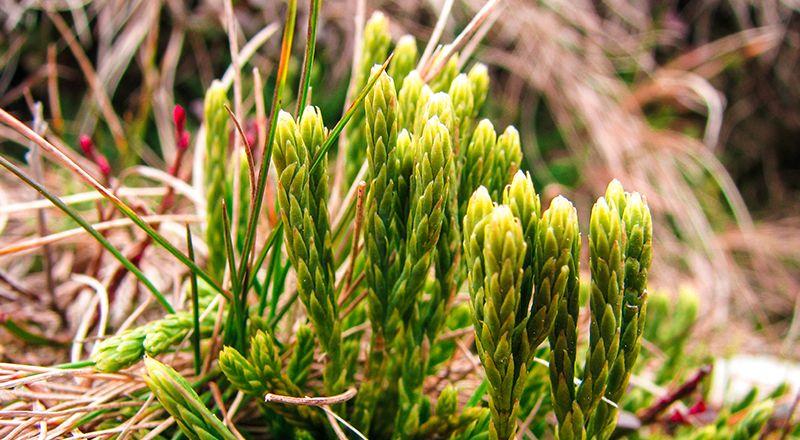 plantas del pirineo en peligro de extinción