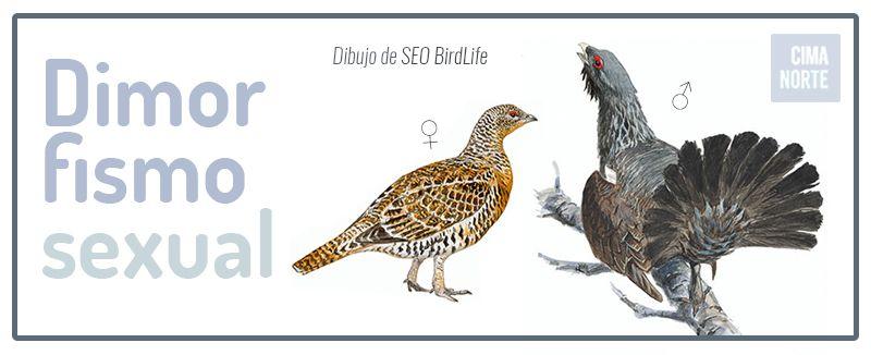 dimorfismo sexal urogallo dibujo infografia