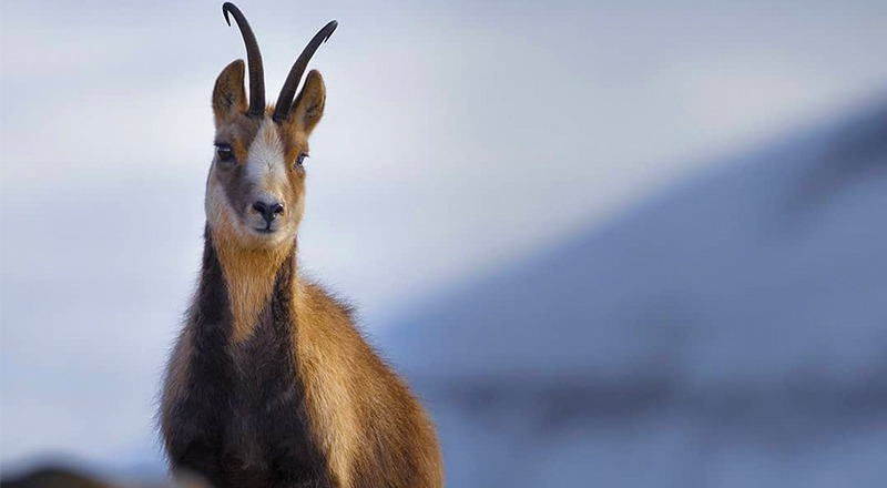 especies autóctonas del pirineo