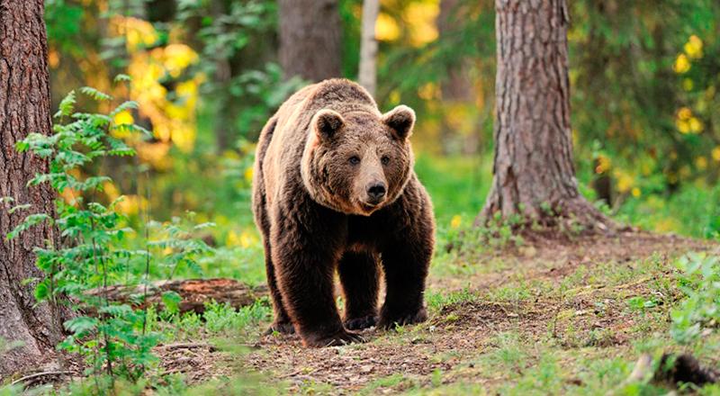 especies de aragon en peligro de extincion oso