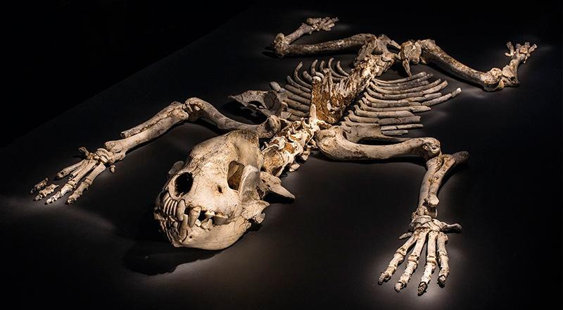 esqueleto hiena cavernas asturias península ibérica