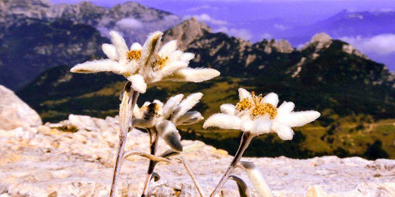 flor de nieve nieu edelweiss