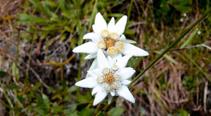 flor de nieve nieu edelweiss leyenda