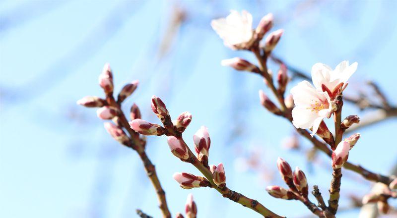 floración almendros cima norte