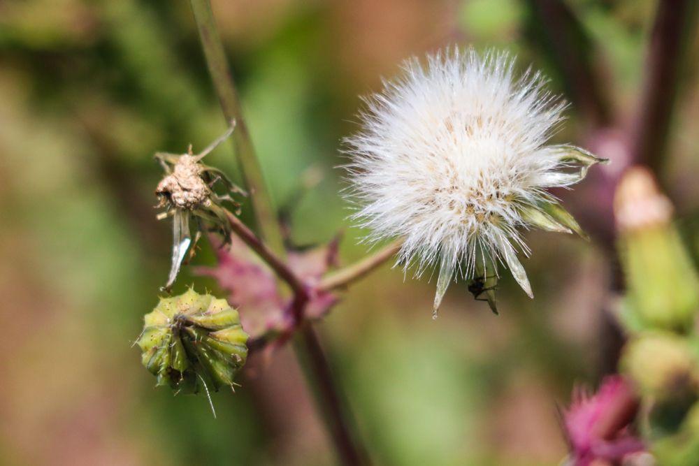 Taraxacum flor pirineo