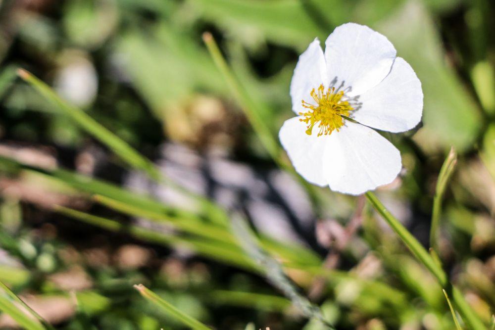 flora Jarilla blanca (Helianthemum apenninum) flor blanca pirineo