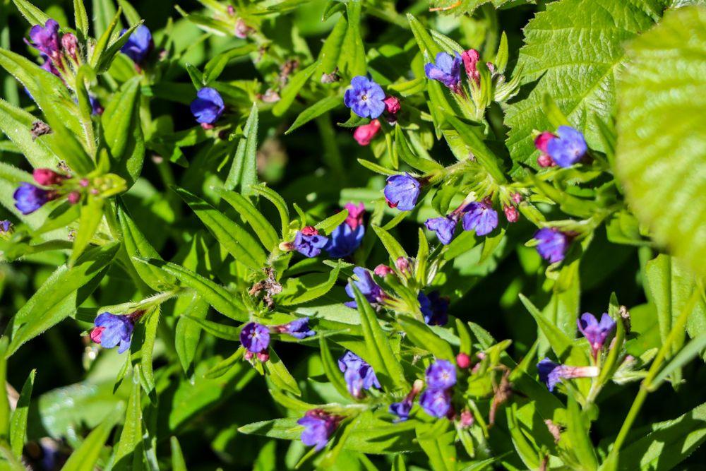 lobelia flora
